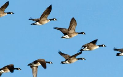 Why do geese fly in a V? Lessons for developing leadership